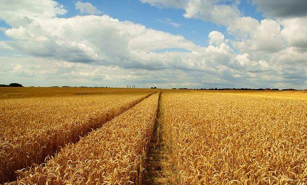 Reducen producción mundial de trigo por Australia y Argentina