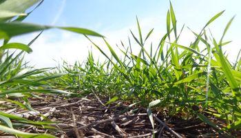 En tiempo récord, el trigo cerró la siembra de una campaña que se encamina a ser histórica