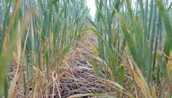 Sin lluvias importantes en el horizonte, el trigo ya perdió 1,5 millones de toneladas