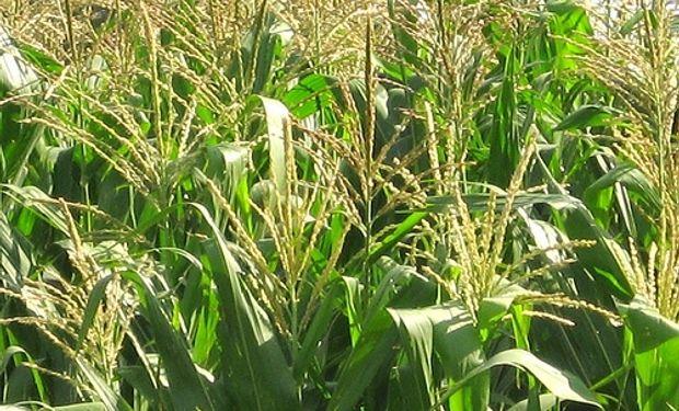 UE mantiene sin cambio panorama de rendimiento de maíz