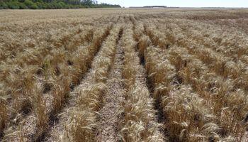 Se remató a $16.100 la tonelada el primer lote de trigo de la campaña