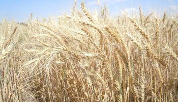 Ya se vendió más de la mitad de la cosecha de trigo y es récord la descarga en el Gran Rosario