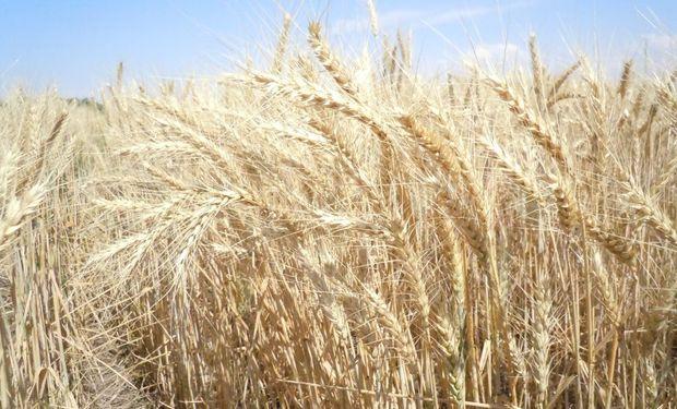 En los dos primeros meses de la campaña 2019/20 ya se han embarcado 5,5 millones de toneladas de trigo.