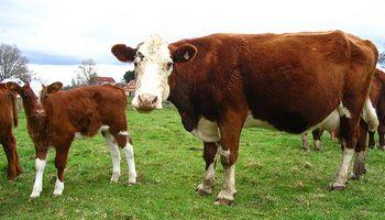 Nueva vacuna previene la diarrea viral bovina