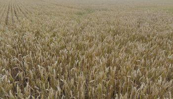 La cosecha de trigo entró en la recta final con un rinde promedio de 28,3 qq/ha