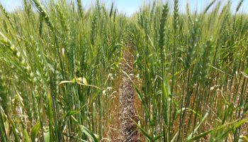 Al mal clima se suman las enfermedades y hay un nuevo recorte en la cosecha de trigo