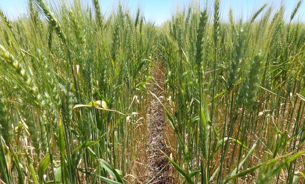 18,5 millones de toneladas: la cosecha de trigo caerá en 500 mil toneladas contra la campaña pasada.
