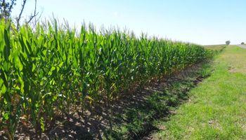 Restan sembrar más de 300 mil hectáreas de maíz y destacan el rol de las lluvias