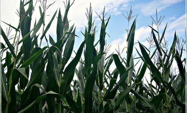La retención efectiva del maíz 2013/14 es del 15%