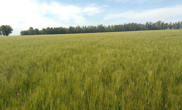 El modelo del trigo agroecológico, ¿un negocio rentable?