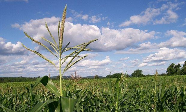 """La caída de la superficie maicera hace """"no sostenible"""" la agricultura"""