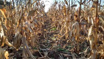 Sucedió lo imposible y ahora la pregunta es: ¿Se viene otra súper campaña para el maíz?