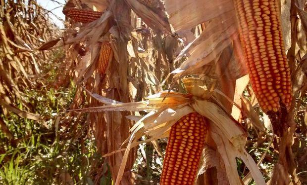 Se destacaron los contratos sobre maíz.