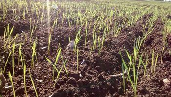 El trigo recuperó 3,43 millones de hectáreas contra el piso histórico del ciclo 2012/13
