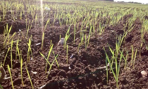 La siembra de trigo alcanzó las 6,6 millones de ha para el ciclo 2019/20 y se ubica como la más importante desde el 2001/02.