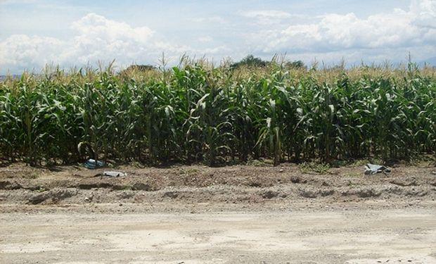 Las exportaciones argentinas de híbridos de maíz crecieron más de un 170%