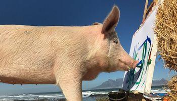 Pigcasso: el chancho que pinta se consagró como celebridad y recaudó 70 mil dólares con sus cuadros