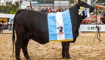 El camino del Campeón: los costos de llevar un animal a la vidriera de la genética mundial