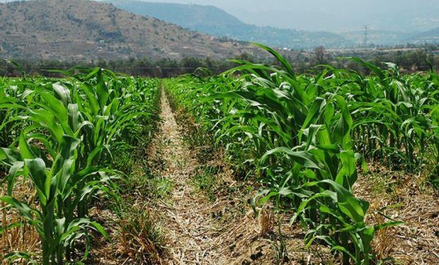 Prevén que la siembra total de maíz caiga 8,2%