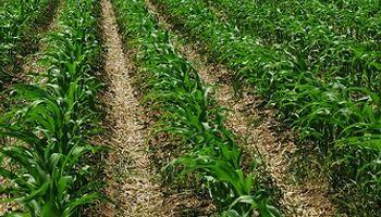 Se le vence el plazo al maíz temprano