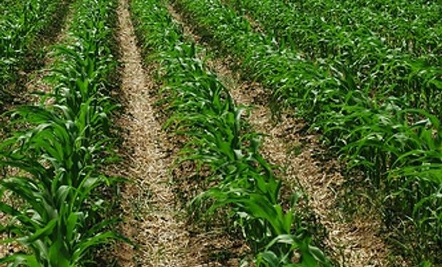 Se cubrió sólo 45% del área estimada con maíz