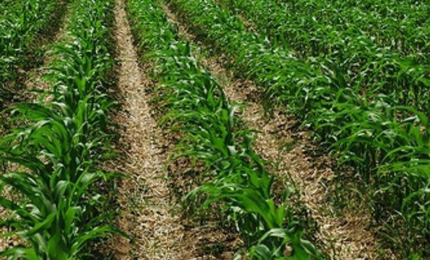 La retención efectiva del maíz 2013/14 es de apenas el 8%