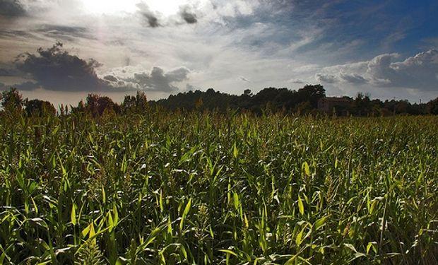 El maíz, muy afectado por el aumento de costos, la baja de precios y los derechos de exportación