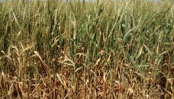 Una cuarta parte de la región núcleo ya está en sequía: cómo afecta al trigo