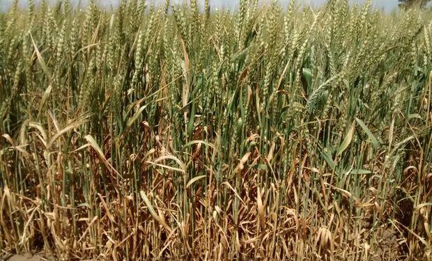 El trigo comenzó a encañar con el termómetro bajo cero.