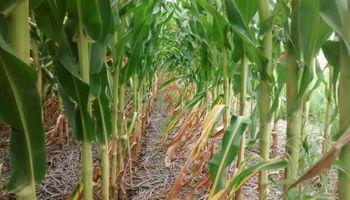 Los maíces de diciembre pueden ser la variable de ajuste