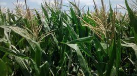 Cuál es la condición hídrica de los cultivos luego de las últimas lluvias