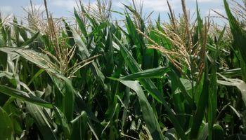 Lluvias claves para el maíz en la principal provincia productora