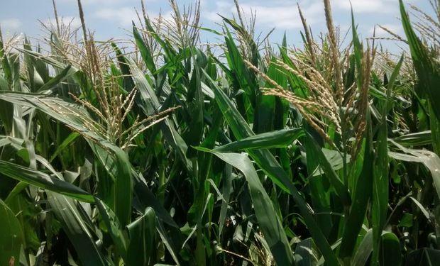 Maíz: las lluvias de las últimas horas incrementaron las reservas hídricas y mejoran el estado general del cultivo ya implantado.
