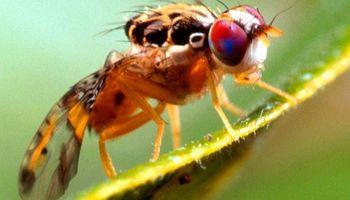 Mendoza exportará moscas a Bolivia para combatir la principal plaga de las frutas