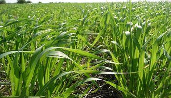 En la zona núcleo se espera una gran respuesta del trigo tras las lluvias