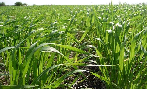 Zona núcleo: el trigo está atravesando etapas que van de macollaje (25%) hasta pleno encañazón (70%).