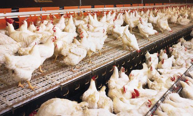 El brote motivó el sacrificio de 18.000 pollos.
