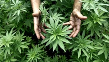 Cuál es el avance real de la producción de cannabis en Argentina