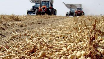 Economías regionales: la producción de maní atraviesa su mejor momento y la lechería genera preocupación