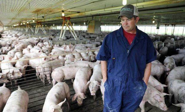 Productores de cerdo se lamentan no poder aprovechar la oportunidad de China, afectada por la fiebre porcina.