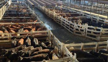 Liniers: vacas y toros mantienen precios firmes por la fuerte demanda