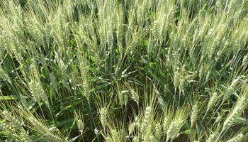 Cuál es el costo de guardarse semilla de producción propia