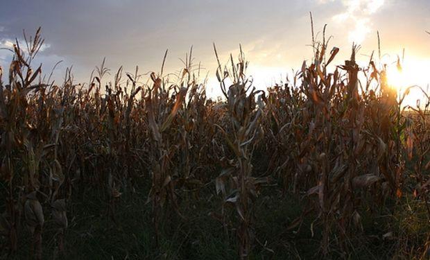 El maíz empieza a sentir la falta de lluvias y podría tener pérdidas