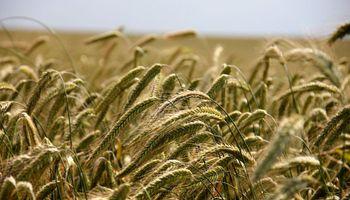 Las semillas de centeno incrustadas mejoran el rendimiento del cultivo