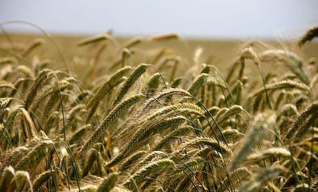 Las semillas de centeno incrustadas mejoran el rendimiento del cultivo utilizado como controlador de malezas