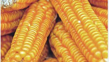 Los precios del maíz cayeron a un mínimo de cuatro años