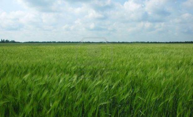Se sembró 20% más de trigo en Santa Fe
