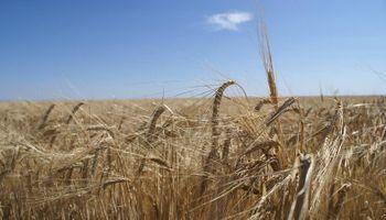 Herramientas para reducir estrés en trigo y cebada