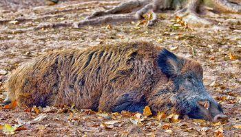 Seis preguntas sobre la peste porcina africana