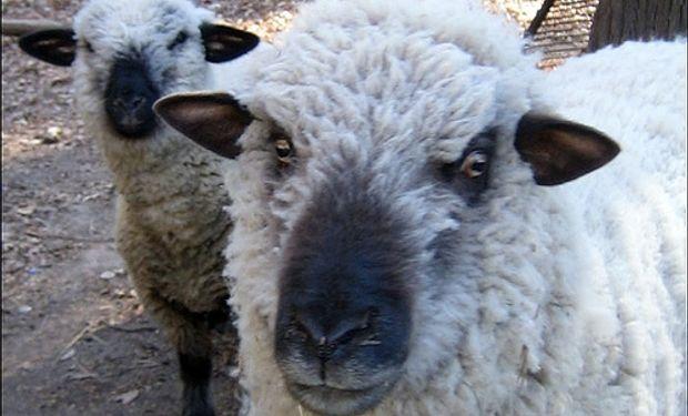 La mortandad de ovejas afectará ventas de lana